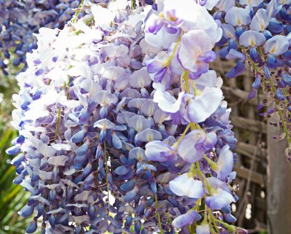 Wisteria Real vs Fake, silk flowers, artificial flowers, lilac, mauve, purple
