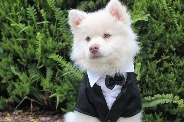 Dog in A Tux, wedding dog, ring bearer