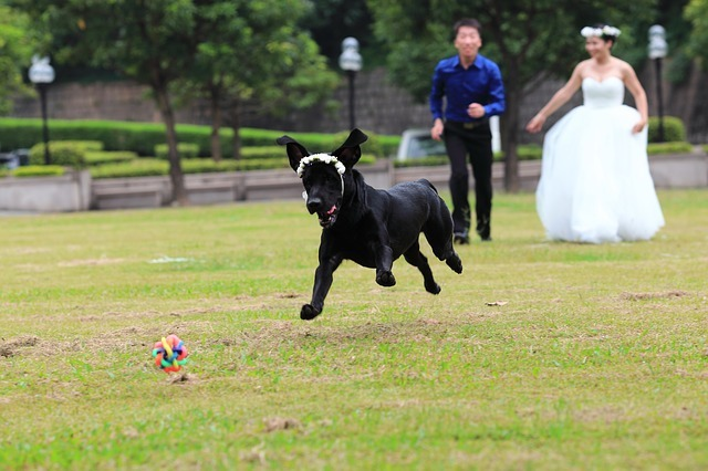 Dogs in weddings, animal ring bearer, bridal party, best dog, dog of honour